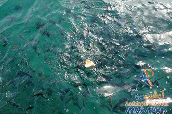 غذا دادن به ماهی ها در کیش